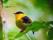 panama-manakin-bird-ave