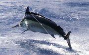 panama-fishing-marlin-pesca