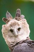 panama-harpy-eagle-aguila-harpia