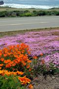 Wildflowers, Highway One, California