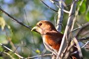 Clay-colored Robin (Turdus grayi)