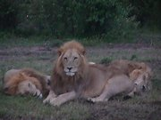 3 Males lions