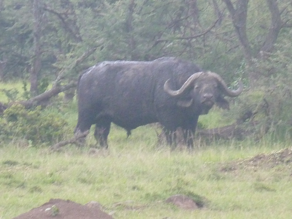 Lone Male Buffaloe