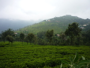 A view of the tea plantations