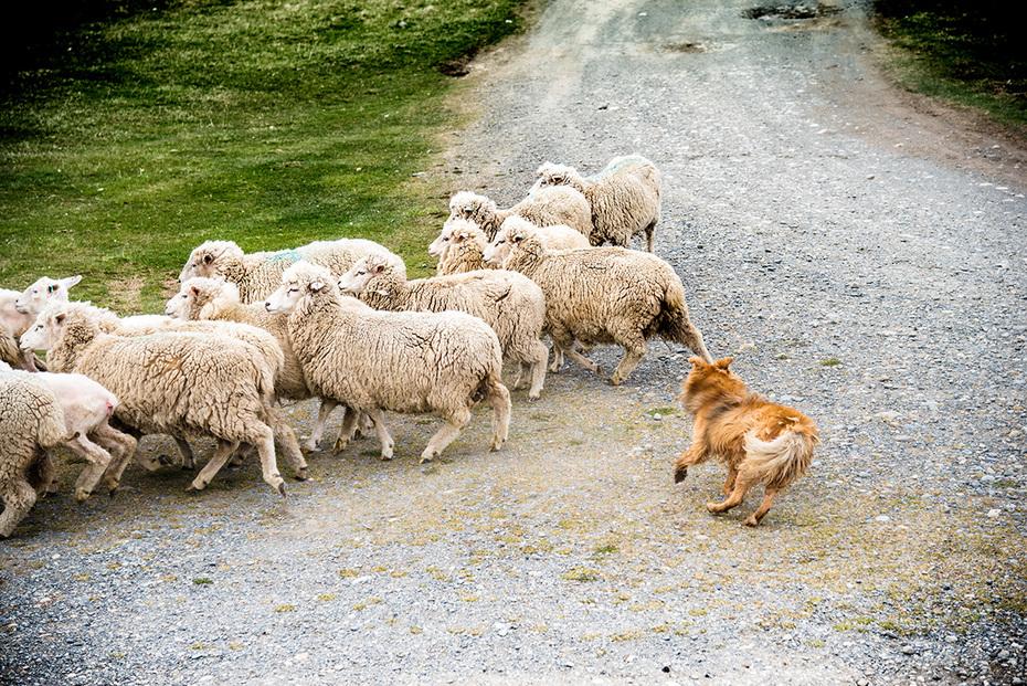 Sheep in Patagonia