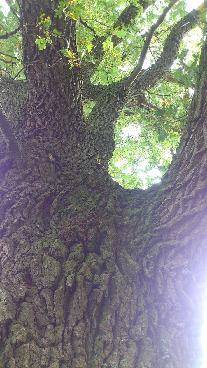 The Sacred Oak Tree