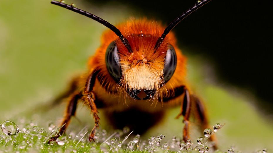 bees-macro-bee-looks-hd-wallpaper-1024x576