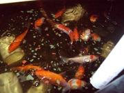 Picture aquaponics sept 013