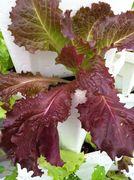 Galatic Red Lettuce seedling