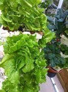 Lettuce ready to harvest in Vertigro