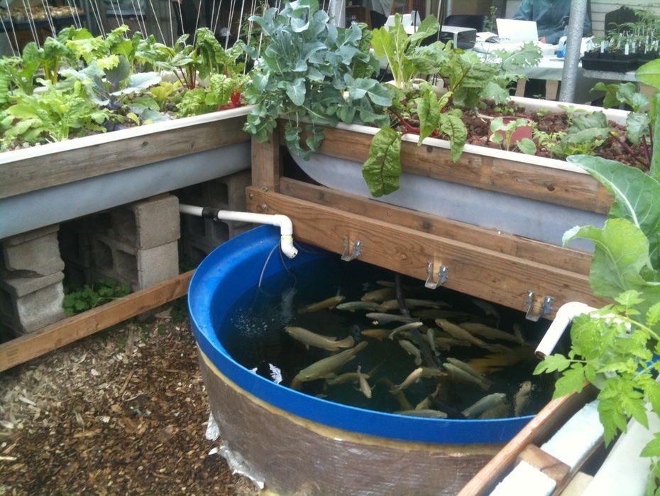 Tilapia system at the GrowHaus