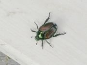 Beetle -