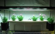 T5 Fluorescent over DeepWaterCulture Dianthus