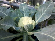 Another Cauliflower