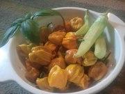 Habanero Harvest July 18, 2012