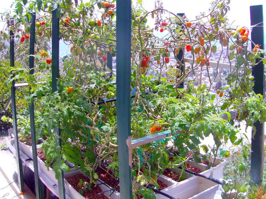 UmmUmm! The famous San Marzano Tomato -