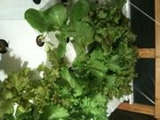 Jan lettuce
