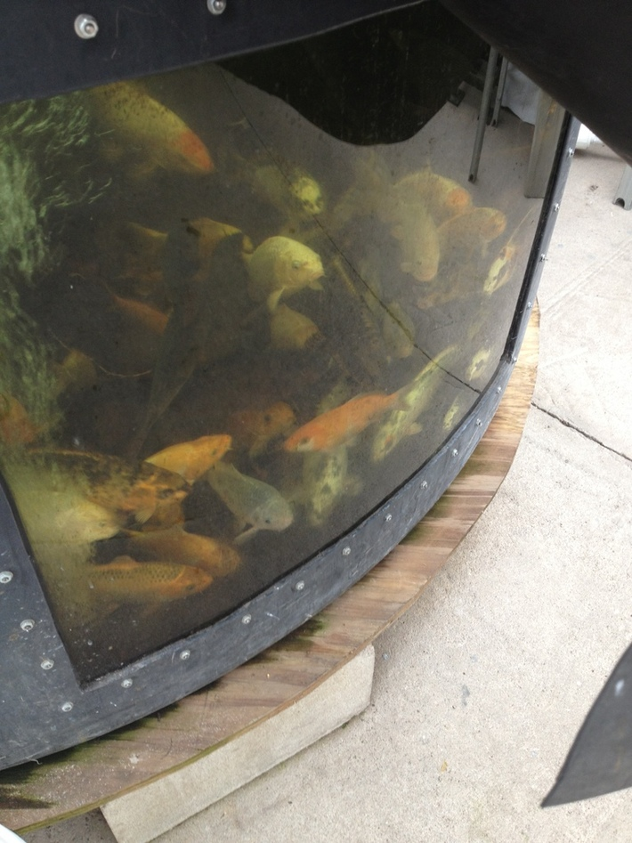 Koi and Tilapia and 1,000 gallon tank