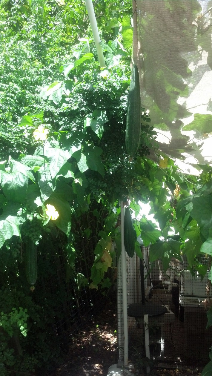 Some nice size Luffa growing up and into the trees