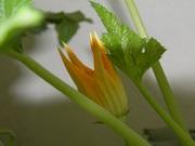 My zucchini flowers 032
