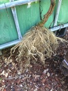 tomato plant root structure in aquaponics 2