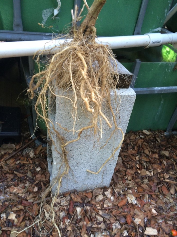 tomato plant root structure in aquaponics