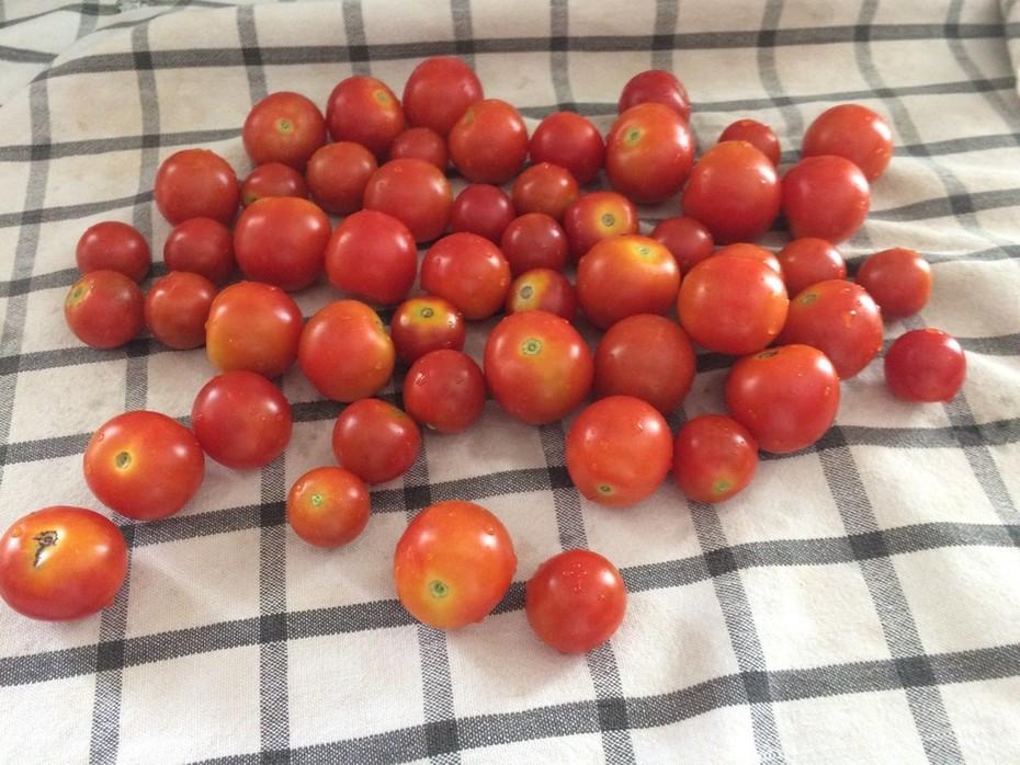 Tomato harvest 5.27.16