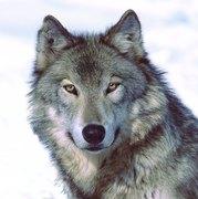 WOLFIES RULE!!!