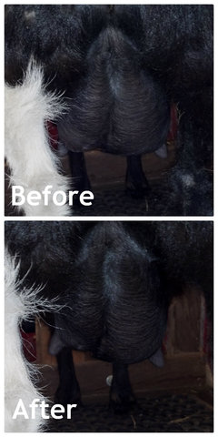 I need tips to even out an uneven udder - Nigerian Dwarf ...