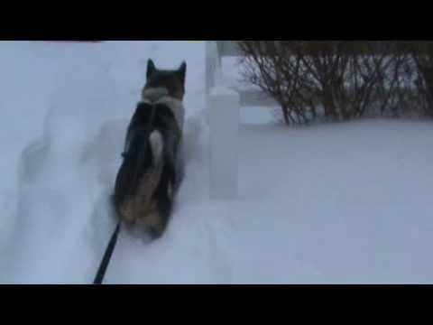 Tuffy The incredible  akita pathfinder sled dog.