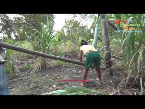 Procesando el casabe en el Orinoco----Processing casabe in the Orinoco region