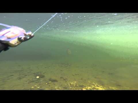Smallmouth Bass Swishing Underwater