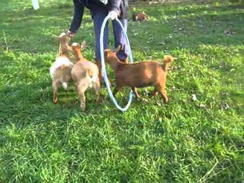 Training our goats
