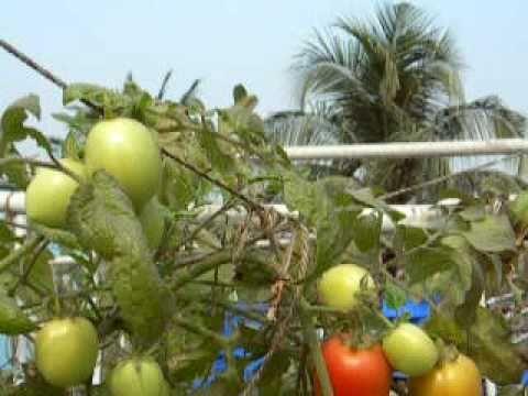 Urban Food Garden Update Kolkata jan 27 2011.MOV