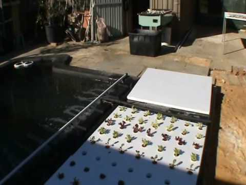 Pool to pond aquaponic system video