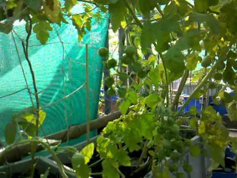 Urban Food Garden Update Dec 9 2011