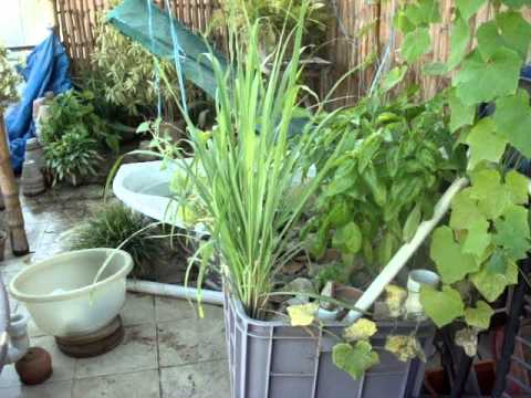 Homemade Aquaponics update 03 April