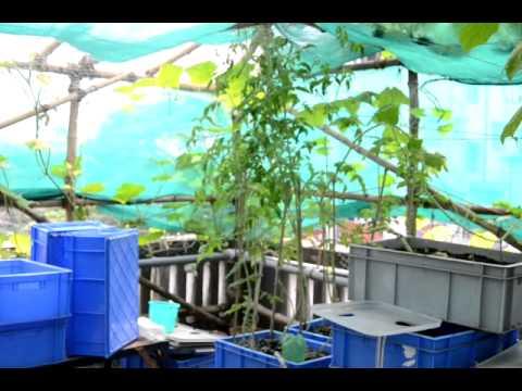 Urban Food Garden Update 14 Oct 2011.MOV
