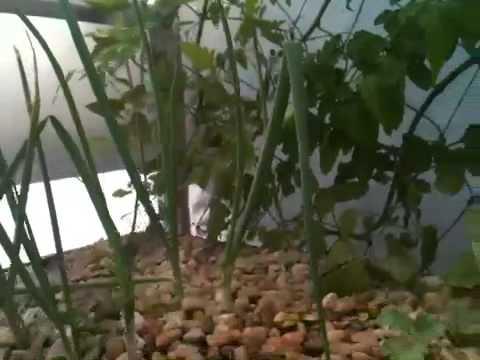 Aquaponics growing and improving