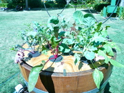 Pierre Riche's new wine barrel aquaponic display at Earth Day sf.