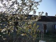 cherry in blossom