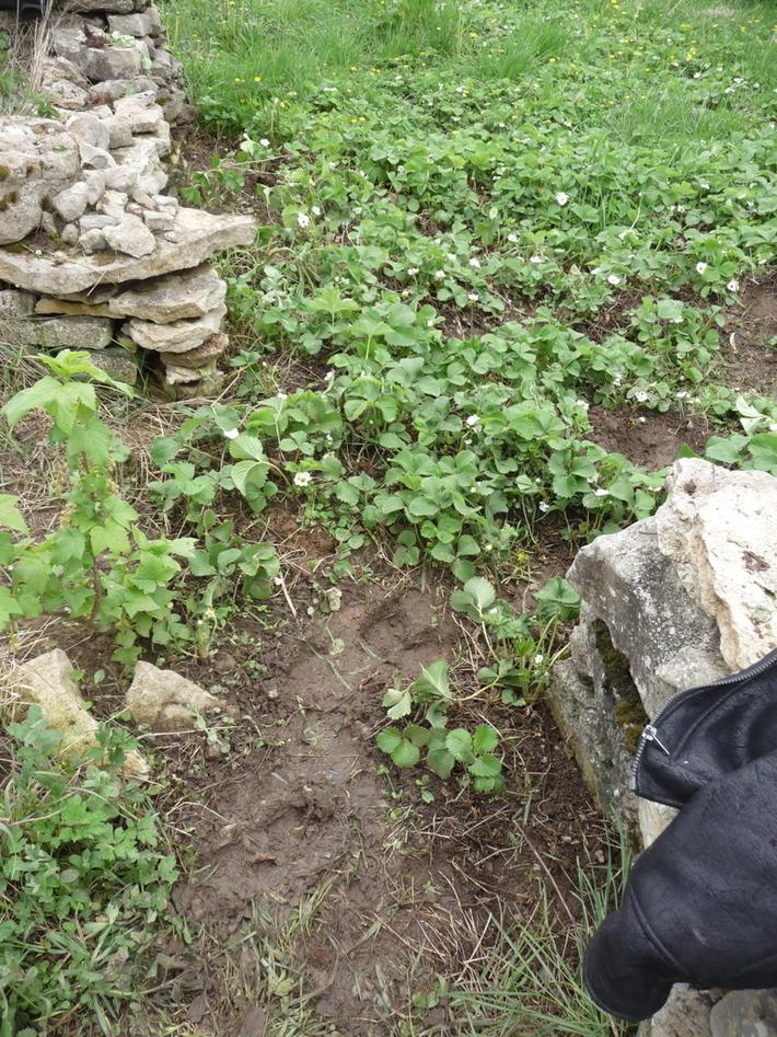 the strawberries - a good weeding job!