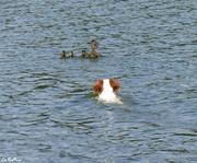 Bahia et les canards !