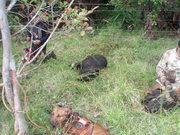 Punanaleo O Waimea tournament-Biggest Boar-168lbs