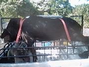 fart boa wit bradah ragah 3 dogs 155 lbs