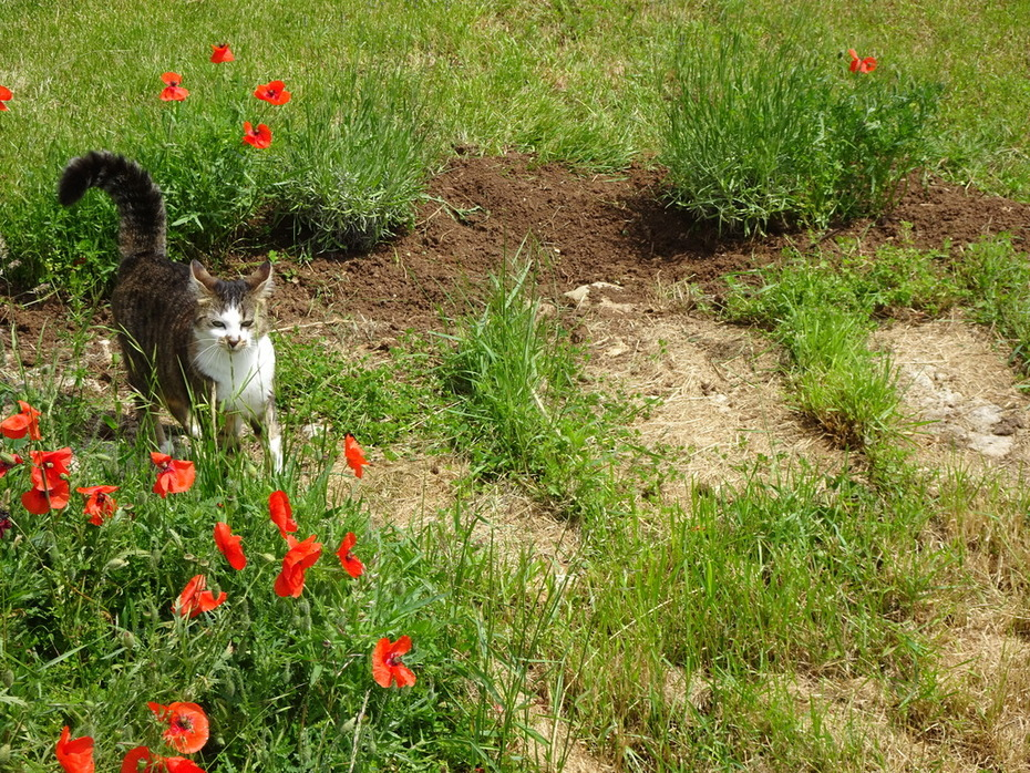 Tara in the poppies