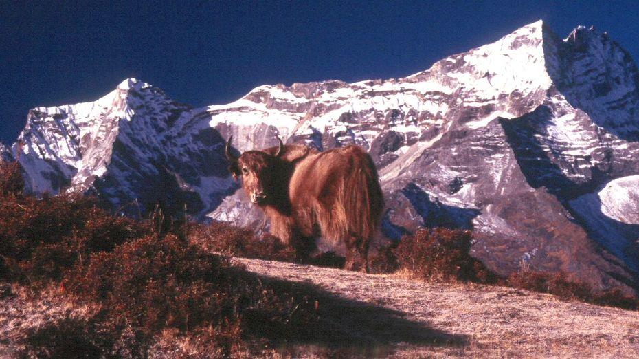 yak and mountain