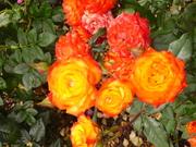 Firey Roses