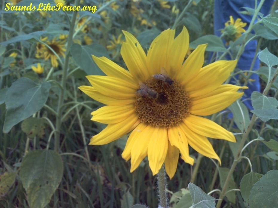 sunflower bees Gorman Farm comressed url
