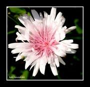 Pinaropappus roseus ........